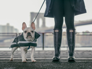 frenchie french bulldog dog in rain jacket and owner in hunter boots in nyc, and the brooklyn bridge in the background