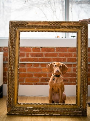 vizsla puppy posing for photo