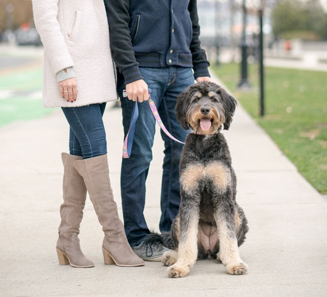 photo session in hoboken with a bernedoodle dog