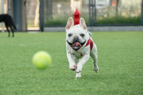 french bulldog fetching tennis ball at the park
